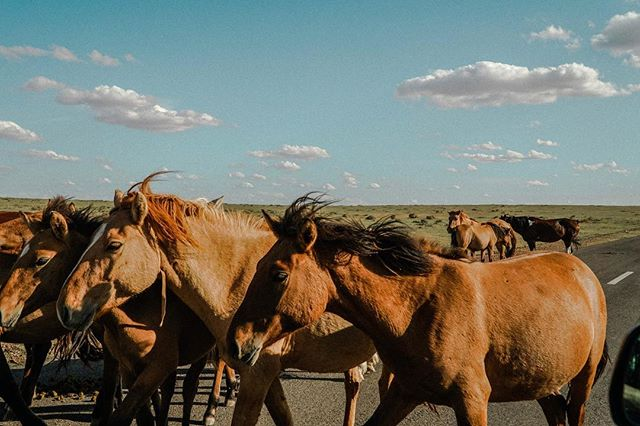 The daily 6-8 hour car trips were never a bore in Mongolia. We would often encounter wild 🐎horses, 🐫camels, 🐑sheep and 🐂cows on the roads. Such a spectacular country.