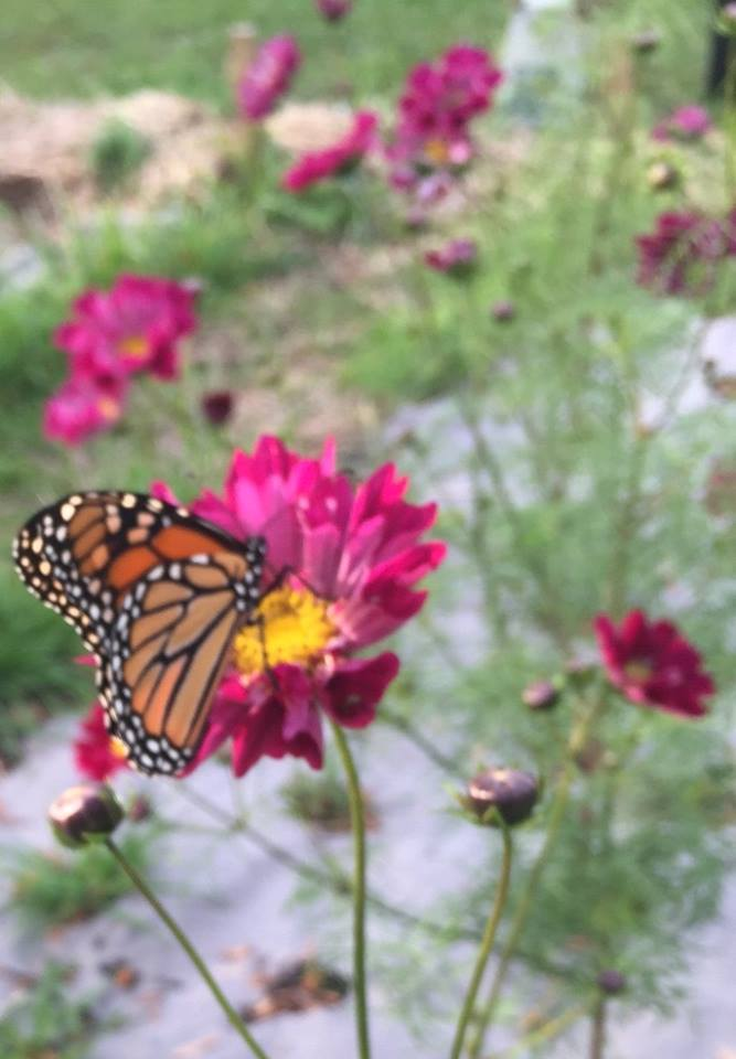 A monarch butterfly on a 'Double Click Cranberries' cosmo flower on the farm in Yorkville. Flower seeds and seedlings are planted into OMRI certified biodegradable paper mulch to reduce weed competition and conserve water.