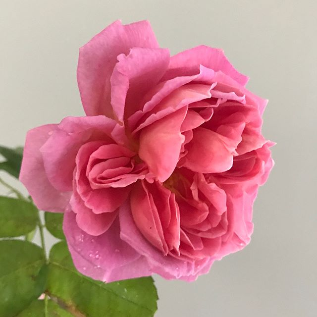 I found her in the rain today looking so lovely and dewy. The cold and wet could not dampen her radiance and glow. She is a David Austin rose, and fittingly, she is named 'The Endeavour.' ✨