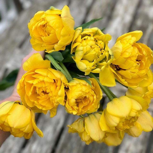 "Yay, its tulip time here in Chicago! These 'Yellow Pomponette' tulips are totally the ""Big Bird"" of tulips they are just so big, cheery and ruffly! For anyone who remembers Sesame Street - you are so cool by the way! 🙌😆 #yellowpomponette #bigbird #canyoutellmehowtogettosesamestreet"