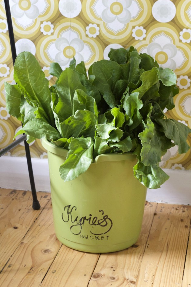 Spinach stored in bucket or two!