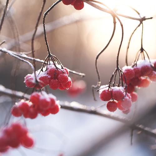 Berries_fyrkant.png