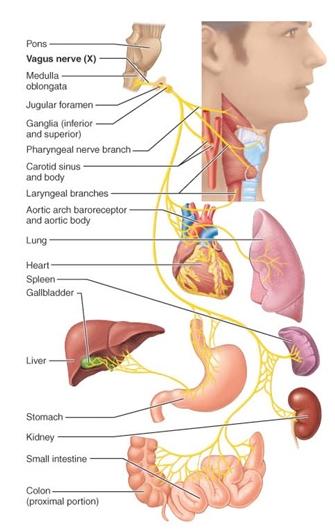 vagus-nerve-x.jpg