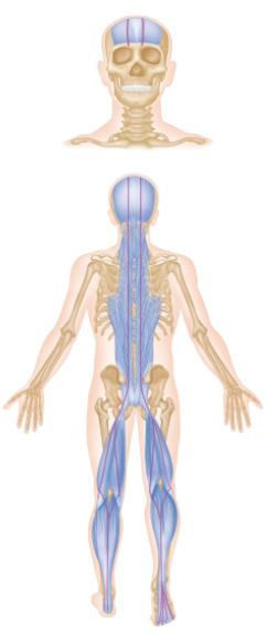 The superficial back line .  Den ydre bindevævsbane bag på kroppen.  Er en af de bindevævsbaner der holder kroppen oprejst. Den starter parvis under fødderne, fortsætter op langs læggene, knæhaser, baglår, korsben, ryggen og op til øjenbrynskanten foran, hvor den hæfter.