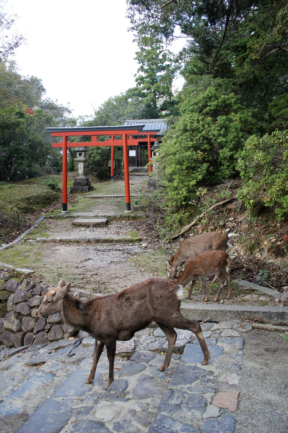 Family of Deer in Nara Park Japan