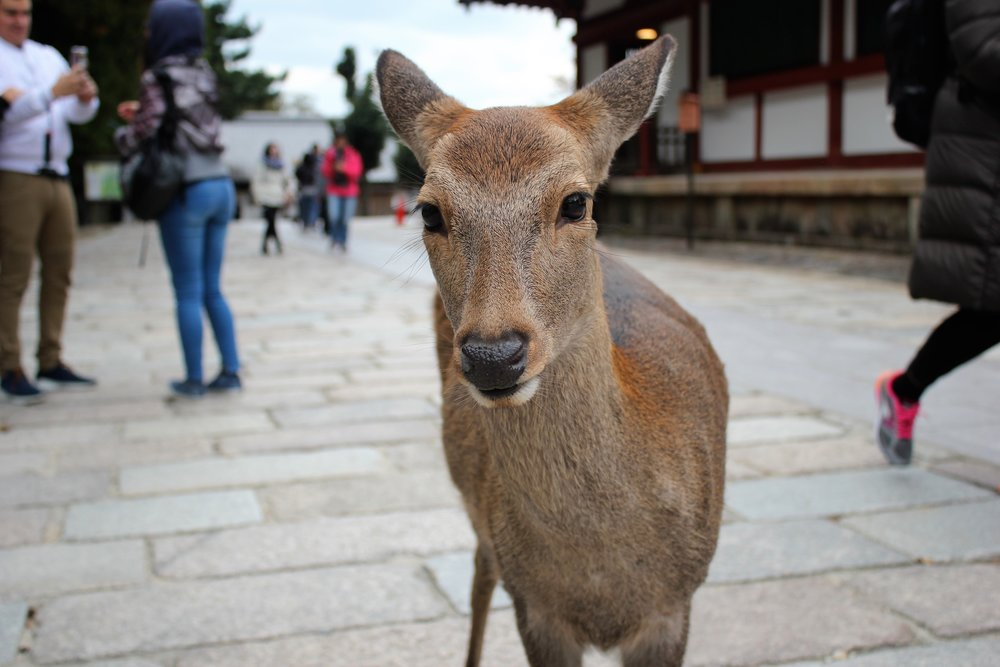 Friendly deer of Nara Park Japan