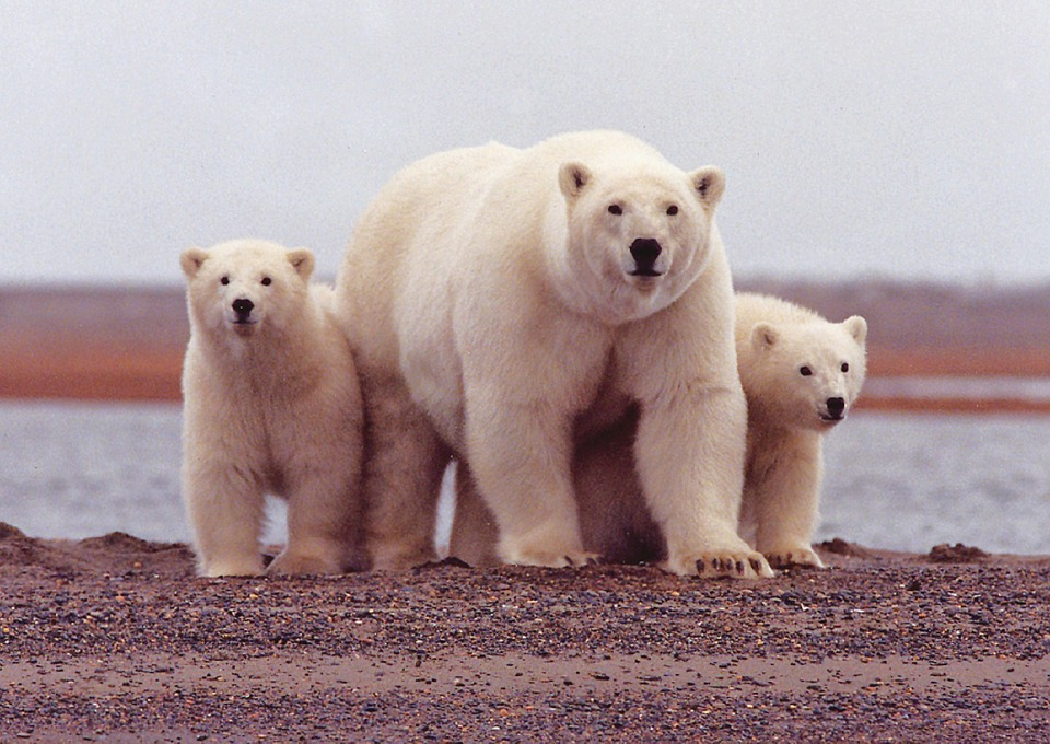 Polar Bears Churchill Canada.jpg