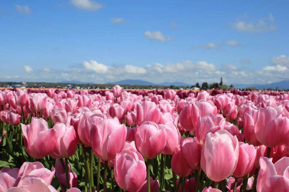 Tulip Festival in Seattle near the Olympia Mountains
