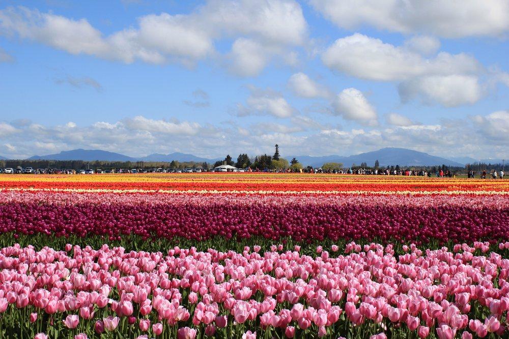 Tulip Fields near Seattle Washington