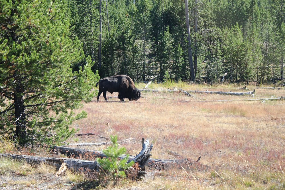 Wild Buffalo of Yellowstone National Park
