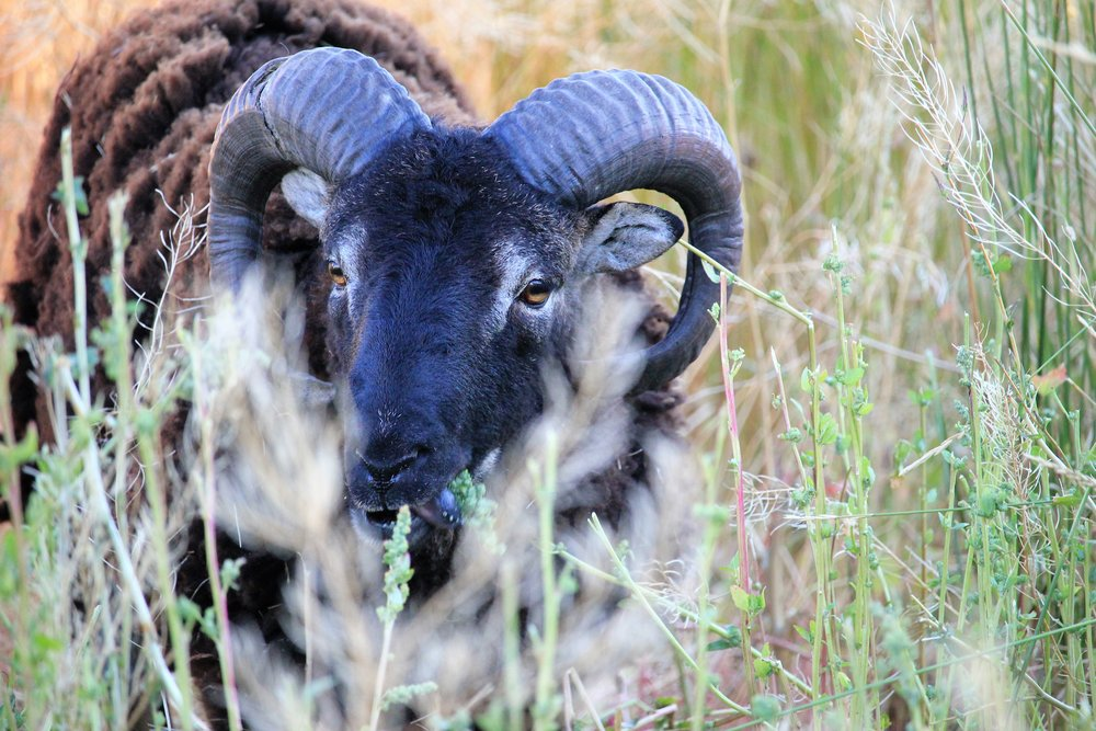 Ram at Yellowstone National Park