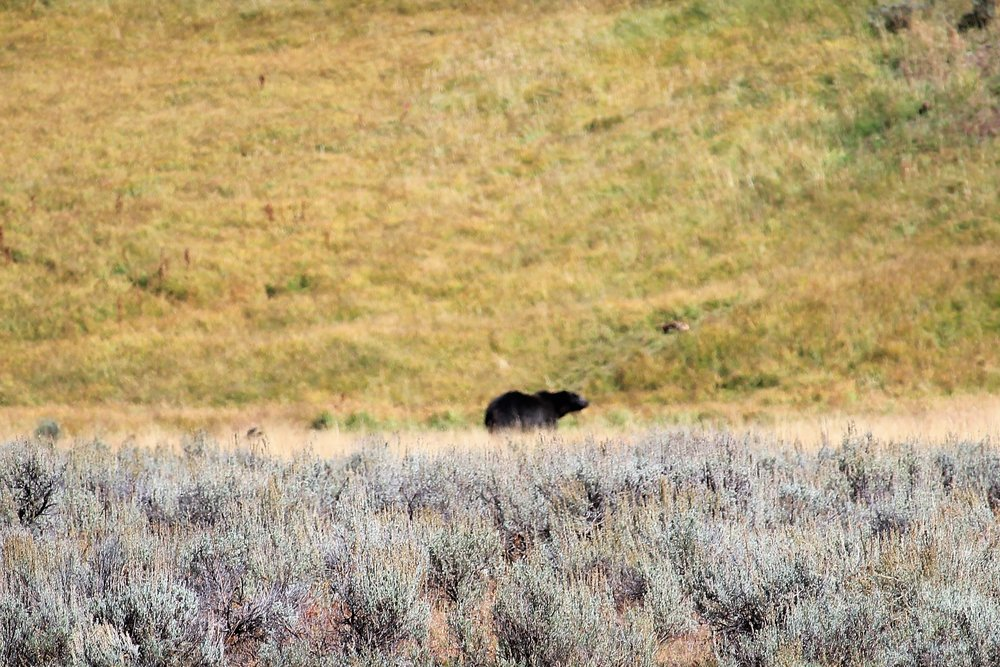 Grizzley Bear at Yellowstone National Park