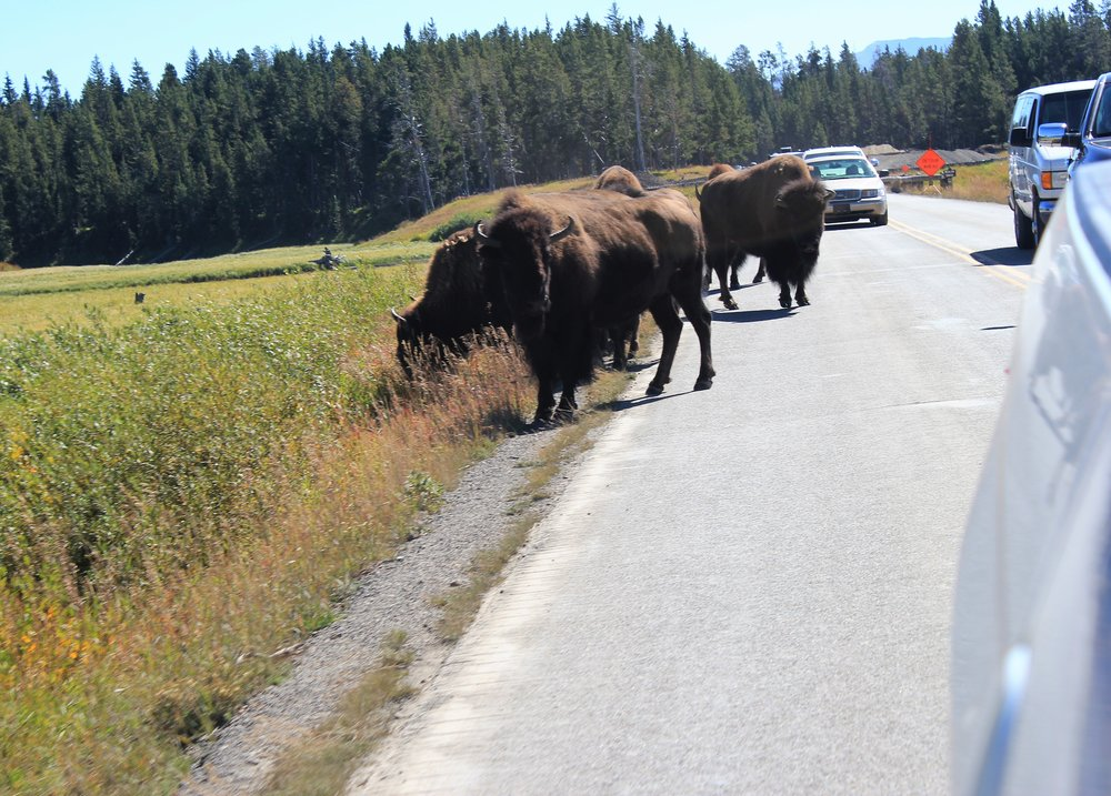 Buffalo Rule the Road in Yellowstone National Park