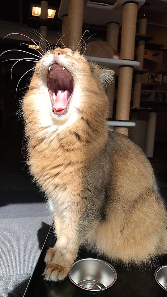The Lion of Cat Cafe Calico in Tokyo