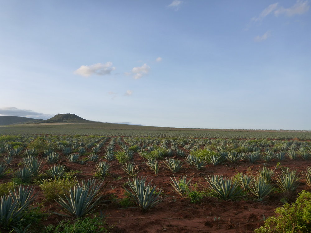 1. The sisal plant