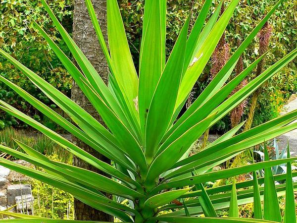 Aloe Yucca 1.jpg
