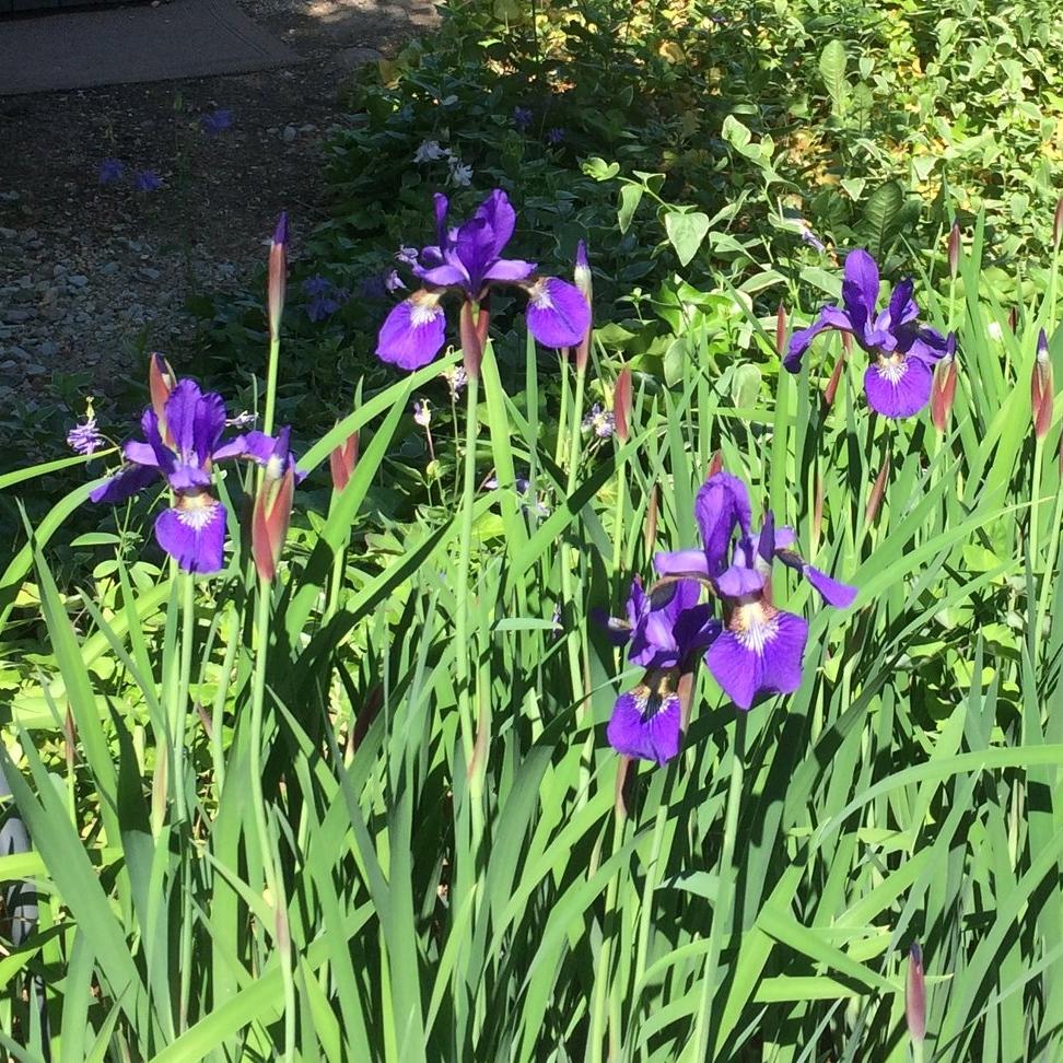 Wild Iris (crop).JPG