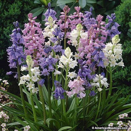 Wood Hyacinth.jpg