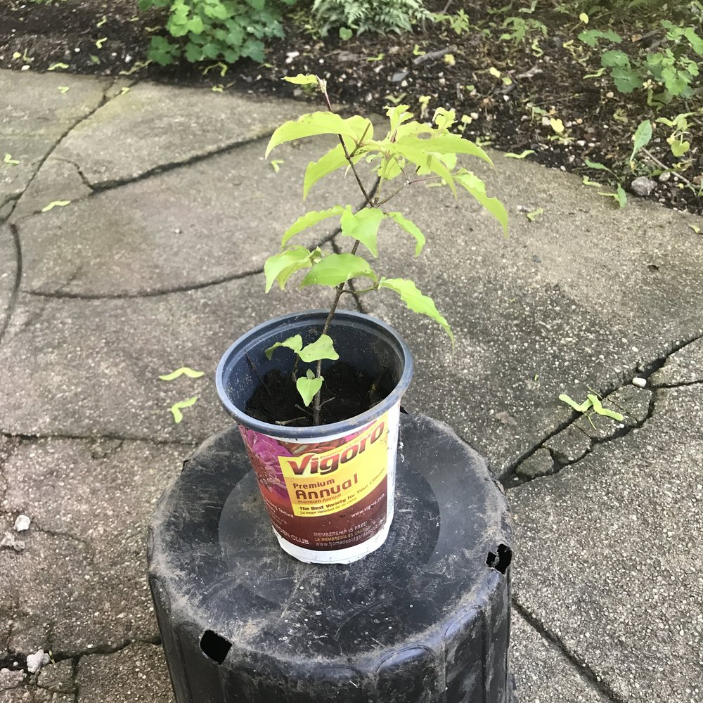 Kousa Dogwood seedling.JPG