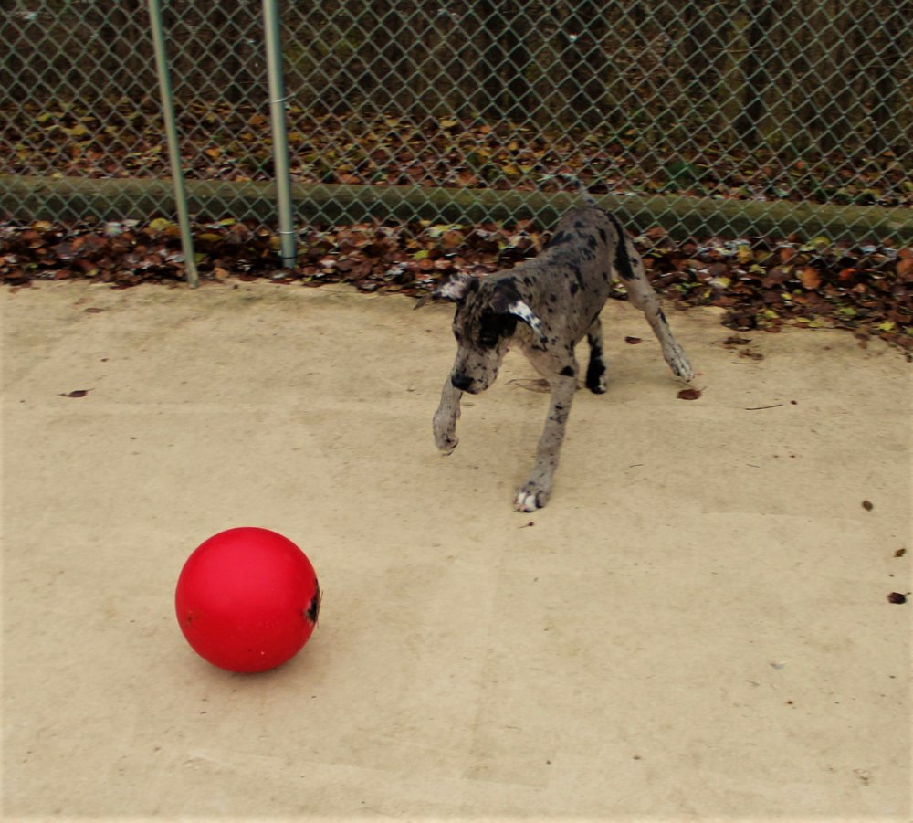 Moondust has always been playful and the bond she's built with the specific red ball would stay with her for as long as she's been here.  When Moondust was this size she would be a favorite to play with any time she came for daycare.  Everything she'd do was adorable.