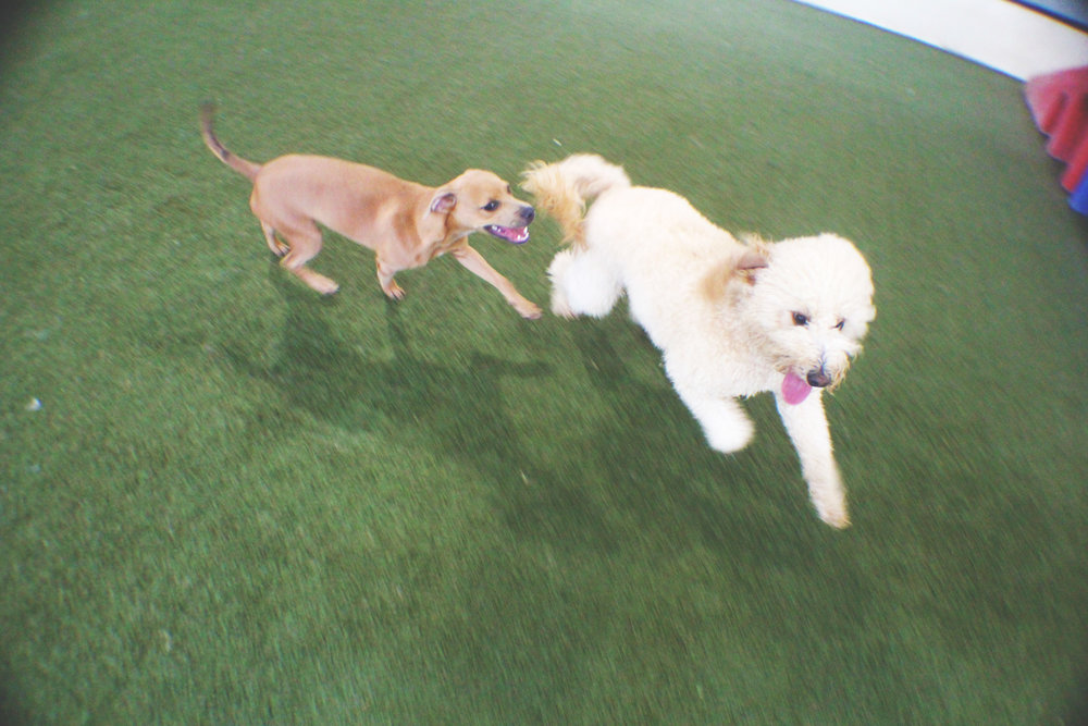 Here's Ziggy playing with his dog friend Squiggy.  Squiggy and Ziggy (pardon the rhyme) always have fun together.  Although it may seem like Squiggy is the smaller of the two just remember that Ziggy is 75% puffball so they equal out in the end.