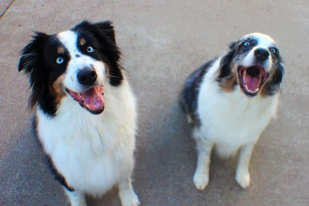 Skye and Finn are a fantastic duo.  They are two sides of the same coin.  Skye, the more laid back of the two, and Finn with the big personality.  Actually, who am I kidding, they are both equally laid back and both have a wonderful personality.  These dogs are a magnificent tandem.