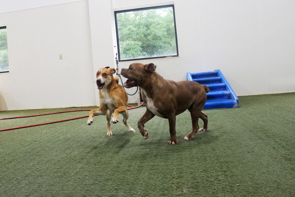 Maddie always has a good time at doggy daycare.  Here she's playing with one of her group mates Legend.  Both dogs have enough energy to power Pet Nation Lodge!  If only we had a way to store it...