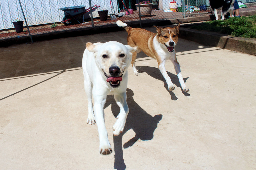 Here's Maple playing with a first time trial dog named Zoey.  Maple is the type of dog that gives us a better indication on how the trial dog will fit in here at Pet Nation Lodge.  Since Maple is so friendly and playful it's easy for us to have her as a baseline to judge other dogs against.  Maple is a fantastic dog and has help us out more times than we can count.