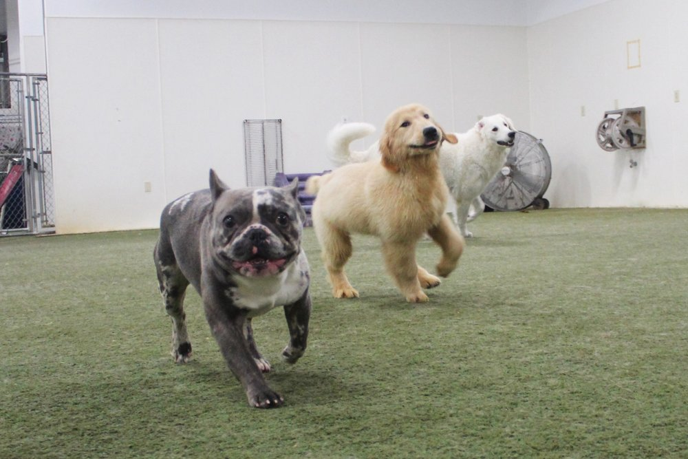 Pet Nation Lodge's Indoor Courtyard allows our boarding and daycare dogs a chance to run around and play even if the weather outside isn't ideal.