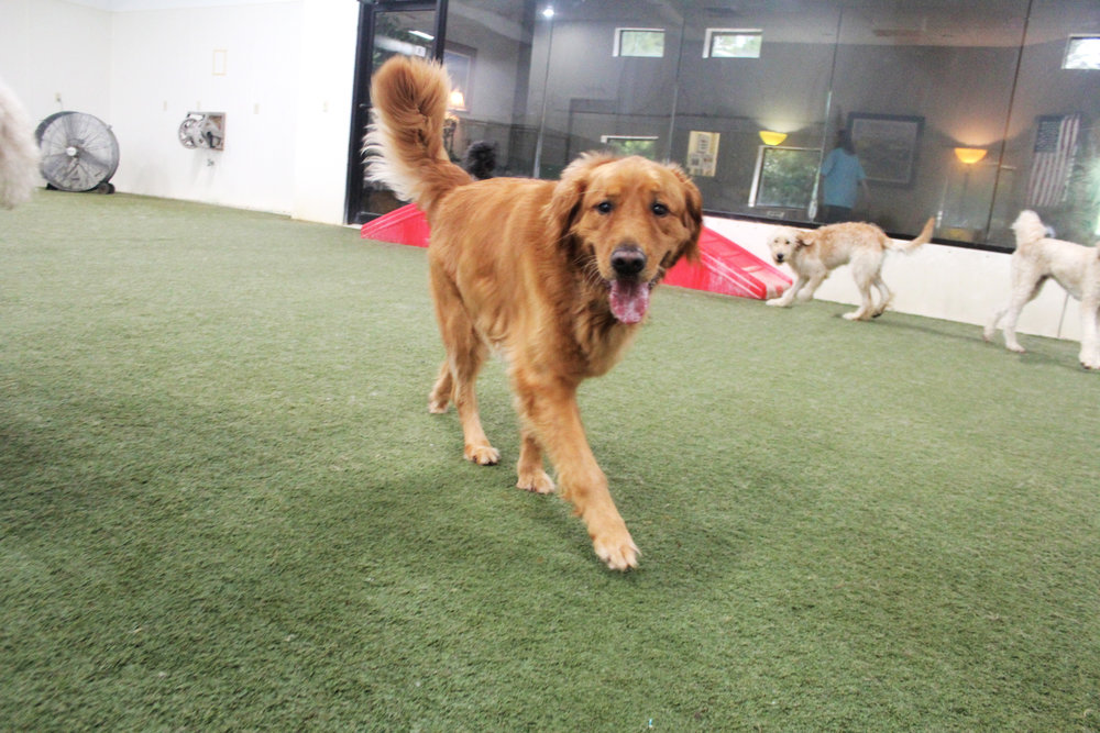 Whether inside or outside Tucker Lee is always surrounded by his friends.  With his ability to get along with just about everyone he's a favorite for us when he's here for doggy daycare.  A dog who is laid back while at the same time being energetic is a real treat to have.