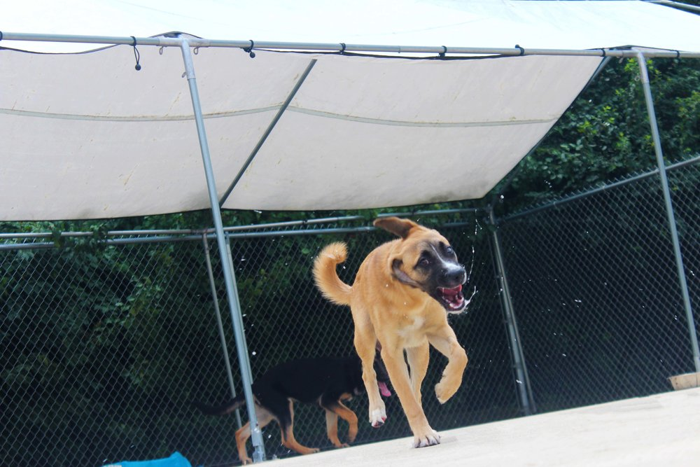 In addition to being a ray of sunshine Quinn can also be a goof ball from time to time.  When a Pet Nation Lodge Daycare dog is energetic, happy, and a little goofy there's no telling what she'll do next.