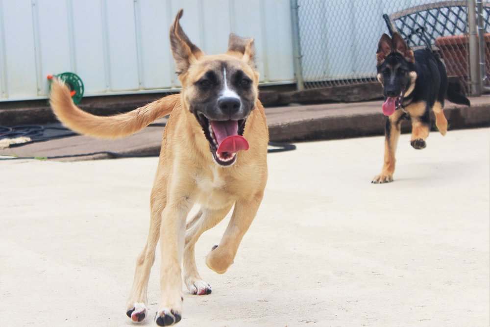 Quinn likes to play and have fun.  Every time she comes into Pet Nation Lodge for dog daycare she already excited and ready to go.  We feel blessed to always have a good consistent group of dogs here who love to play and burn off some energy.  Quinn being the elusive dog that she is great to have around because she gets all the dogs to play with her.