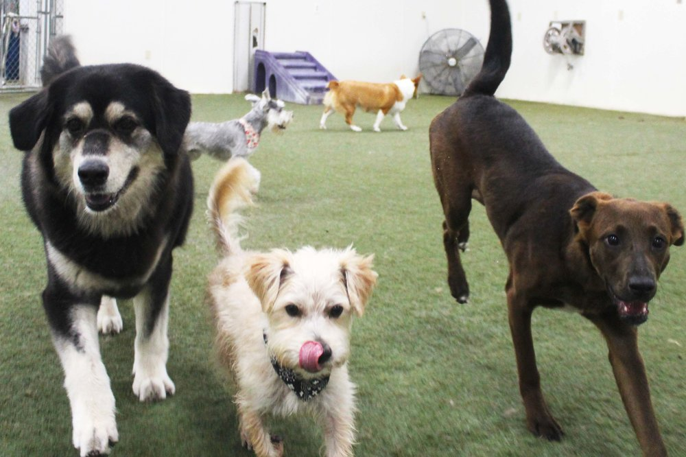 "Tusker is a dog that doesn't quite know his own size.  He rolls with what can only be described as, ""the big boys"" whenever he's at Pet Nation Lodge for Dog Daycare.  Tusker will play with everyone, big or small.  Just so long as that dog is playful."