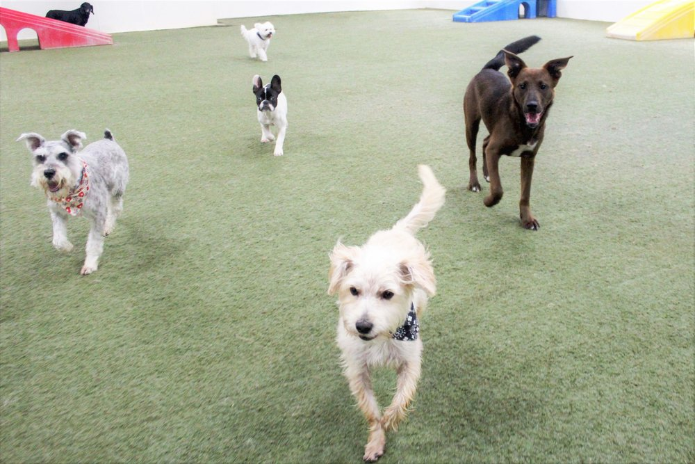Tusker, if he were to be made human, would be a great leader.  Just watching him while he's at Pet Nation Lodge for a day of dog daycare, it's pretty easily visible that Tusker is in control.  Like a General leading his troops into battle, Tusker leaves no dog behind.
