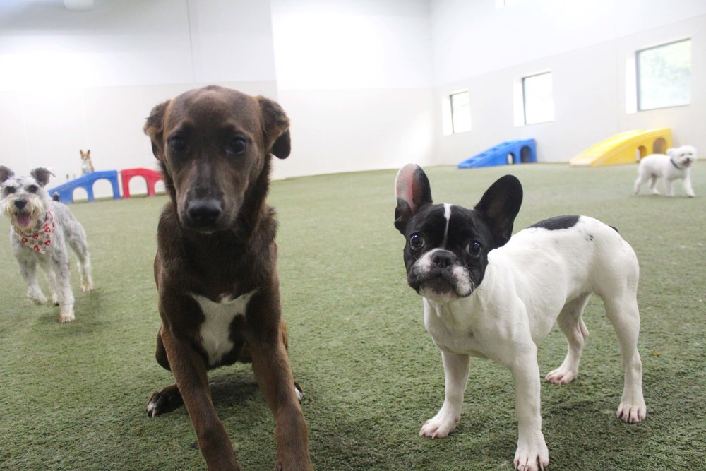 Coco is quite popular when she comes in for Dog Daycare.  Always playing with her favorite daycare dogs, she's definitely a part of the cool dog group.  Maybe a bit awkward at first, her confidence level has really increased since arriving at Pet Nation Lodge.