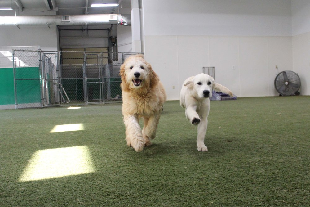 At Pet Nation Lodge one of the happiest new additions to our daycare is Rufo. Still a puppy, and as playful as one. When he walks through our doors there's always a smile on our faces.