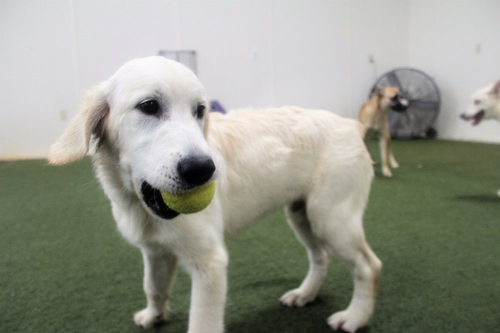 When Rufo first came in for a trial day, it was almost fate. During that time we had just added three other new puppies to our daycare group. It was a no brainer which group these dogs would be in.