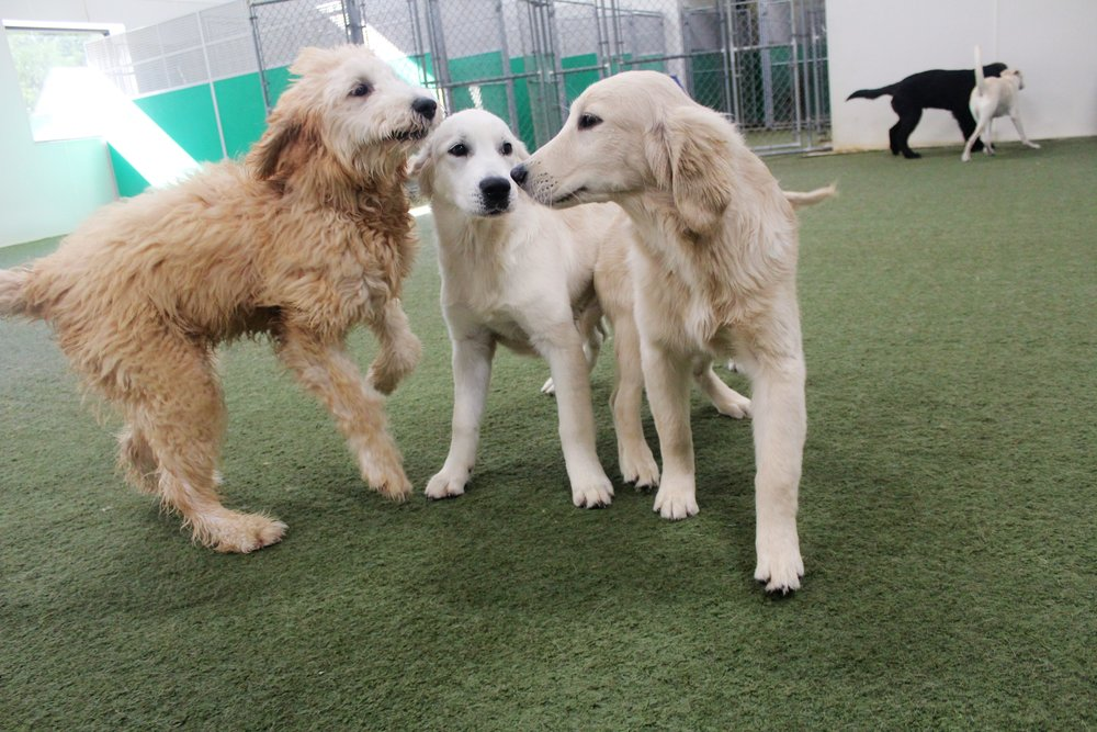 Sometimes meeting new friends can be a bit awkward at first, and at Pet Nation Lodge's doggy daycare it's no different.  As the new pups got to know each other though they became inseparable.  Friends are the best.