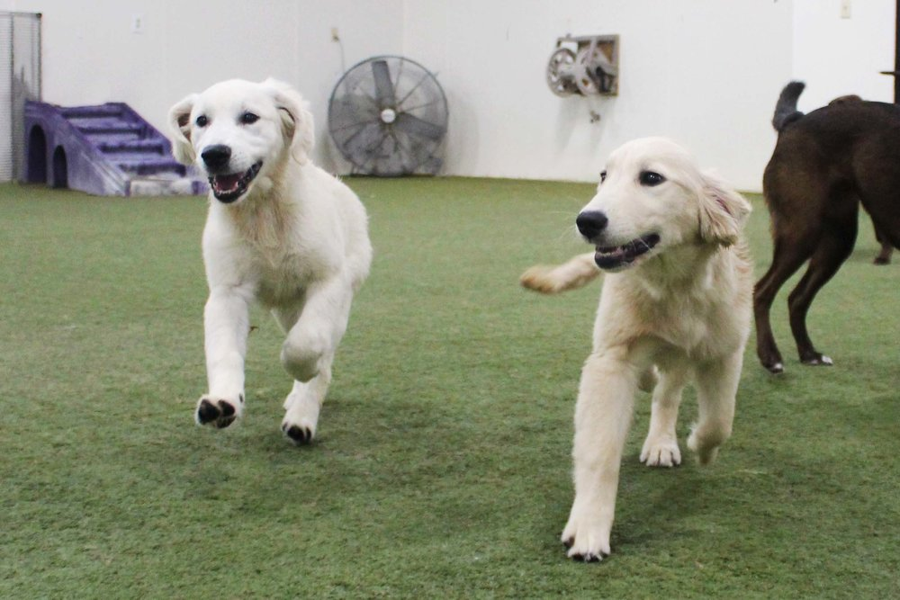 Two of the best pairs that became fast friends were Rufo and Allie. Almost impossible to tell apart from the start, eventually we recognized their unique differences. Pet Nation Lodge now has a dynamic duo!