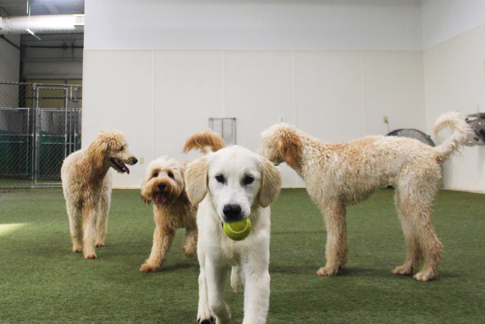 Pet Nation Lodge has always had a very unique group of dogs who come in for Daycare or Boarding. Rufo truly takes that to heart. He'll play with dogs big and small, young or old, energetic or lethargic. He matches up will with any Daycare dog.