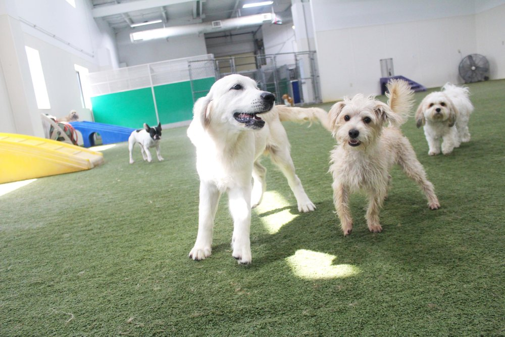 At Pet Nation Lodge Rufo is one of the easiest dogs to place in a group. His laid back demeanor fits well with smaller dogs, and his larger than life personality is a great fit for larger dogs. Most importantly however, Rufo is just happy to have a friend to play with.