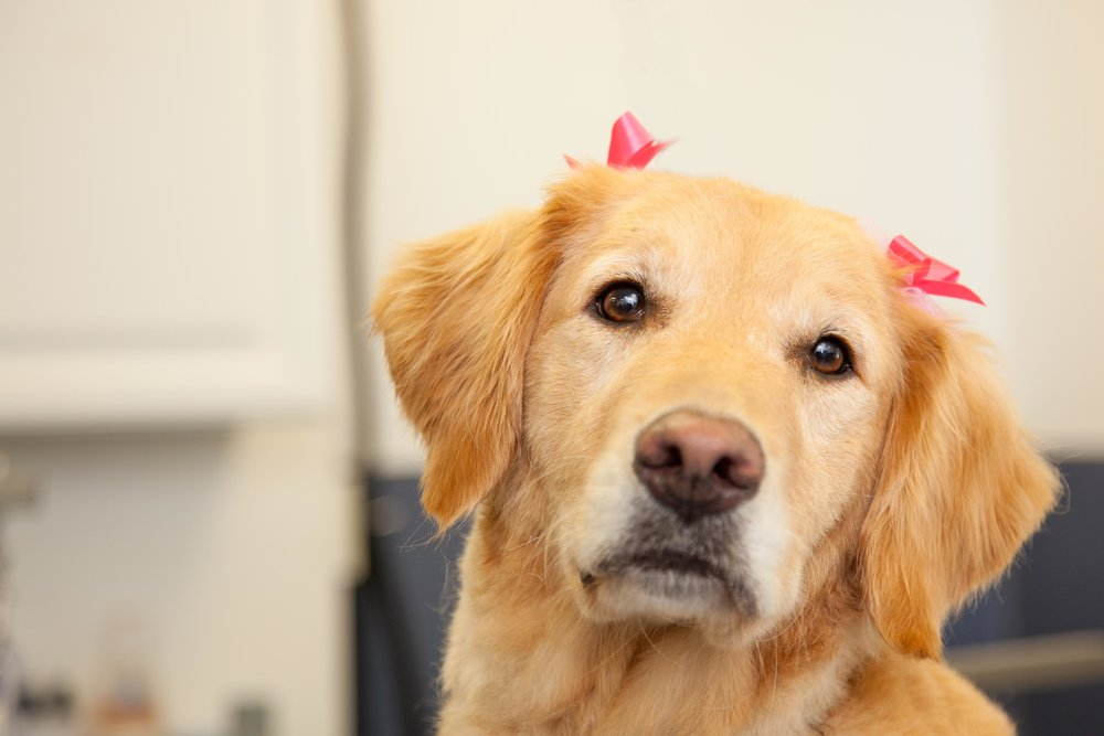 Grooming a dog is not as easy as you think. There is so much that goes into how a dog should be groomed and how to manage those dogs when they're on the table. That's why having a professional groomer do the job is so very important.