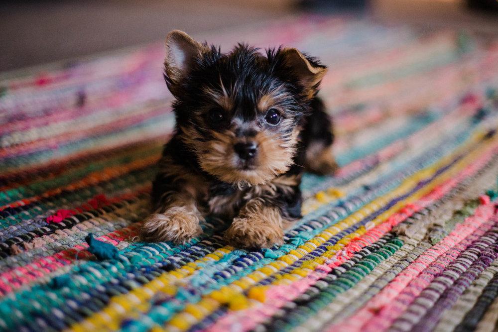 Puppy Kindergarten - For 8-11 weeks of age
