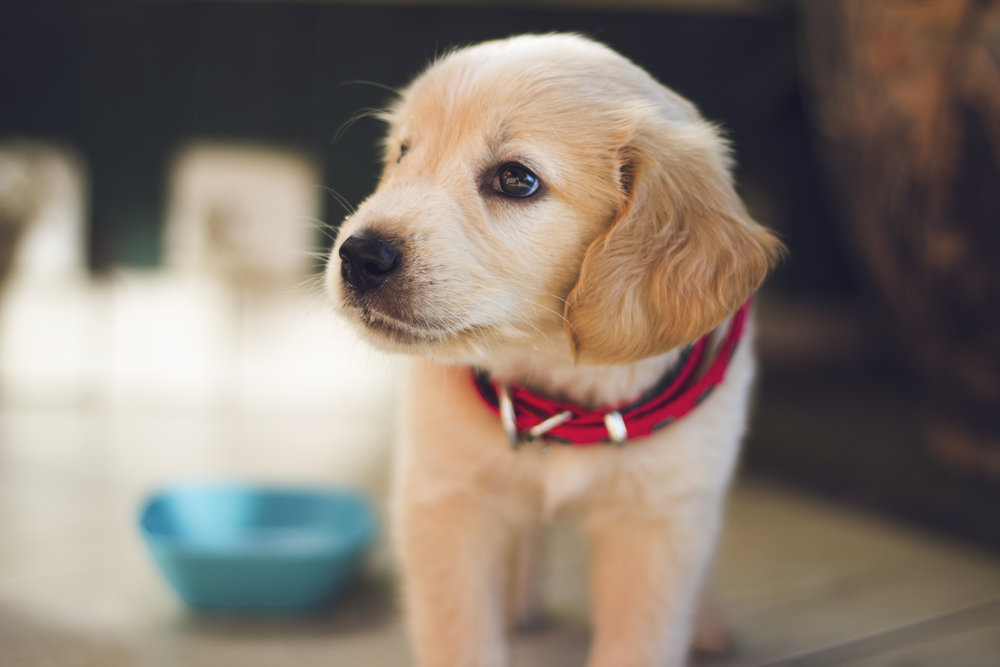 Puppy Training Class for puppies 12-20 weeks of age