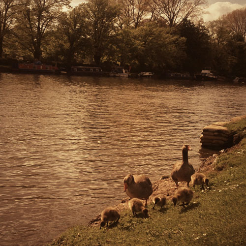 NarrowBoatsandDucklings.jpg