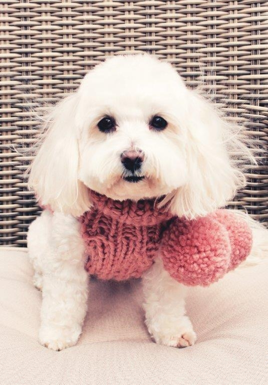 Miss Teddy - Maltipoo