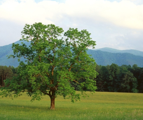 walnut-tree.jpg