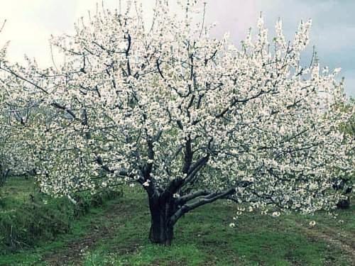 Auglu koki.jpg