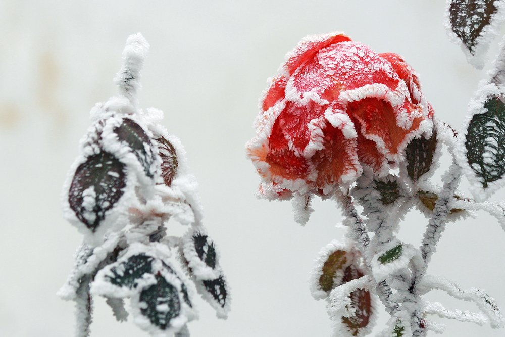 branch-snow-cold-winter-flower-frost-919405-pxhere.com.jpg