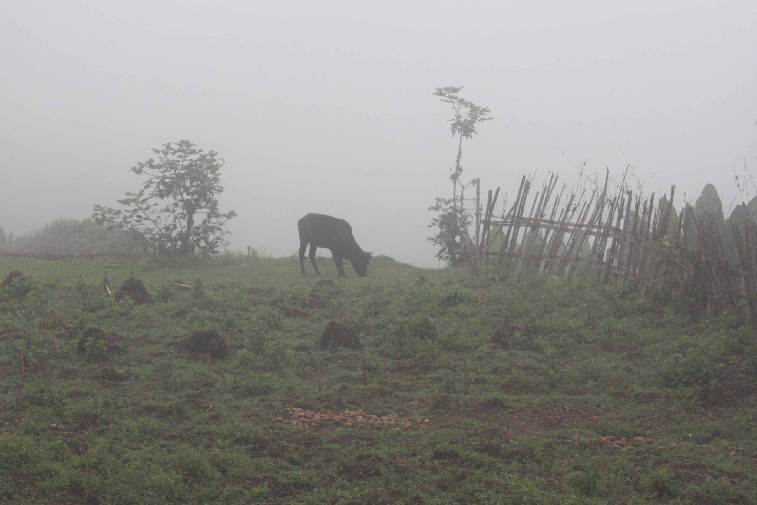 Cow Grazing in the Mist
